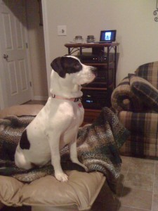 I love the Dog Whisperer... Cali sitting on the foot of my chair watching the Dog Whisperer.